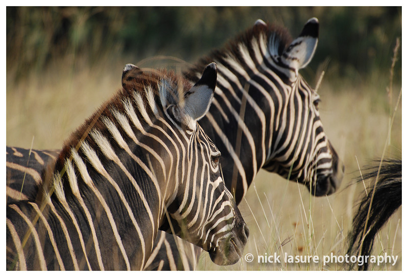 Zebras - Madikwe, South Africa